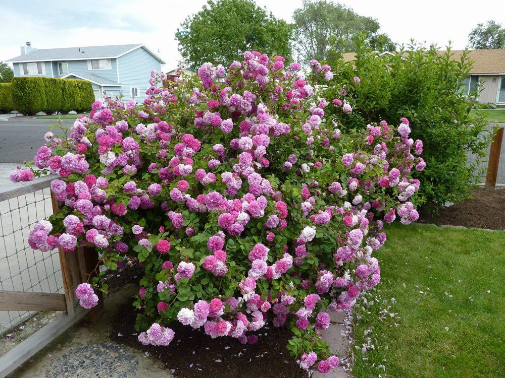 Không trồng xen kẽ hoa hồng với quá nhiều loài cây khác.