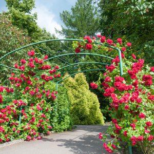 Những điều cần biết khi trồng hoa hồng