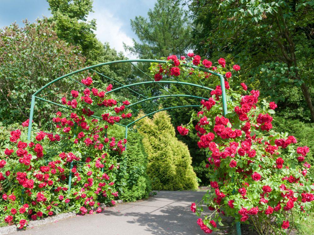 Trồng hoa hồng tại nơi có nhiều ánh nắng mặt trời