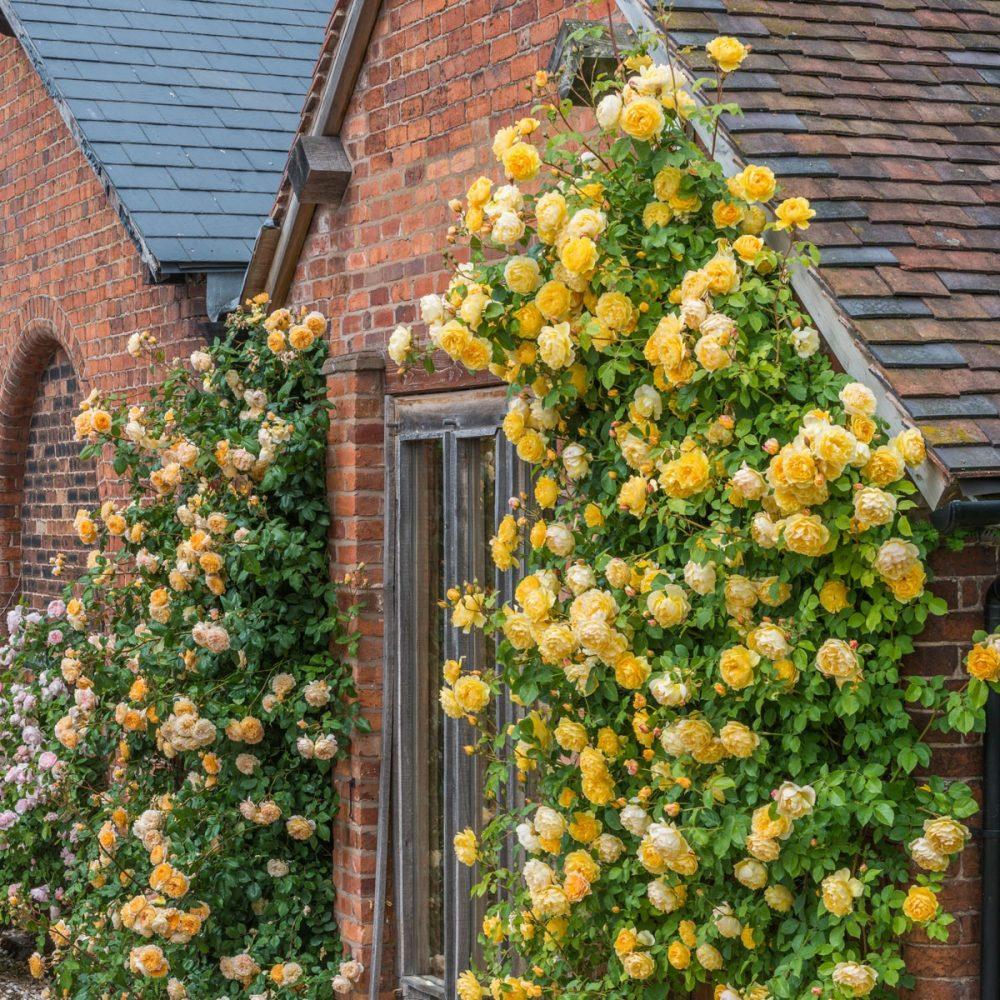 Hoa hồng - Cây trồng trong cảnh quan
