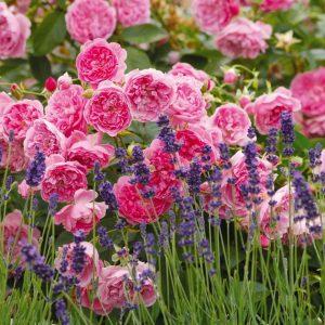 Cách chăm sóc hoa hồng nhanh sinh trưởng