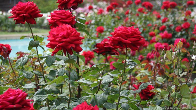 Hoa hồng nhung - công ty thiết kế cảnh quan EGO