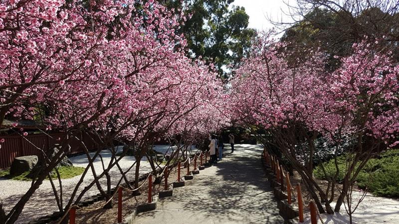Cherry Blossom / Lễ hội hoa anh đào Nhật Bản
