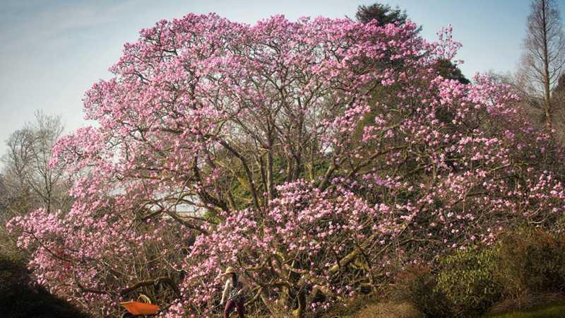 England's Biggest Magnolia / Cây hoa mộc lan lớn nhất ở nước Anh