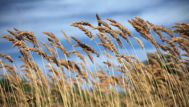Tall Grass & Wind / Đồng cỏ và gió ngàn