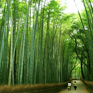 Bamboo: The Miracle Plant / Tre trúc: Loài cây thần kì